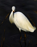 Snowy Egret Elegance -2nd Place 2010, International Color Awards, Wildlife, Amateur