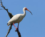Curious About the Photographer- The White Ibis - Pelican Island, Galveston, Texas