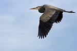 Great Blue Heron Fly-By