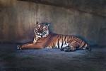 Tiger2,15x10x300sRGB,KE8V5630