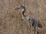 Great Blue Heron Has Jerusalem Cricket Lunch!