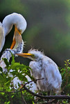 Meal Time After the Rain -Great Egret Chicks, Smith Oaks Rookery, High Island, Texas