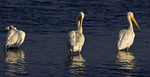 Late Afternoon Grooming -American White Pelican