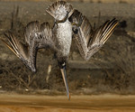Surprise! -Brown Pelican