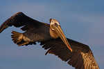 Brown Pelican Fly-Over - Bolsa Chica Wetlands