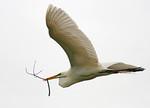 The Nest Builder -Great White Egret, High Island, Texas 2011.