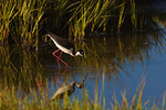 Looking For A Late Day Meal -Black-Necked Stilt