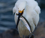 Delicious Catch! -Snowy Egret And Topsmelt