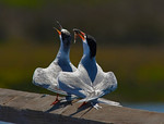Tell It To The World -So Proud Of the Catch - Elegant Terns