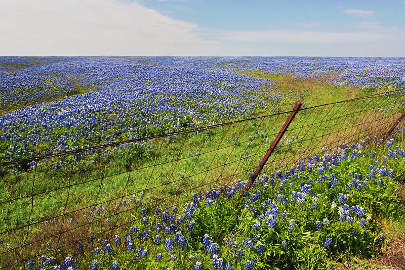 A Sea Of Bluebonnets -Ennis, Texas 4-10-12