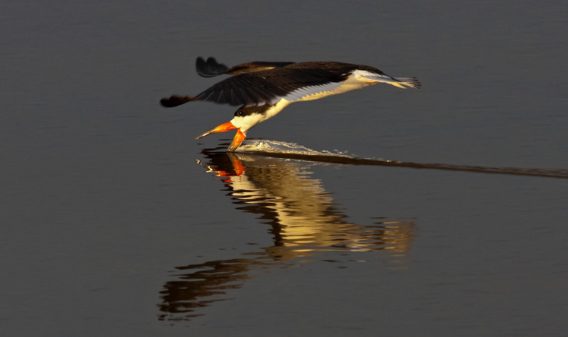 Smooth Sailing Black Skimmer