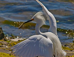 Getting Away With the Catch -Snowy Egret