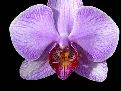 Screaming Orchid