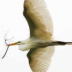 Labor Of Love -Great White Egret, High Island, Texas 2011.