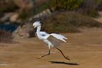 Snowy Road Runner - Snowy Egret Bolsa Chica Wetlands