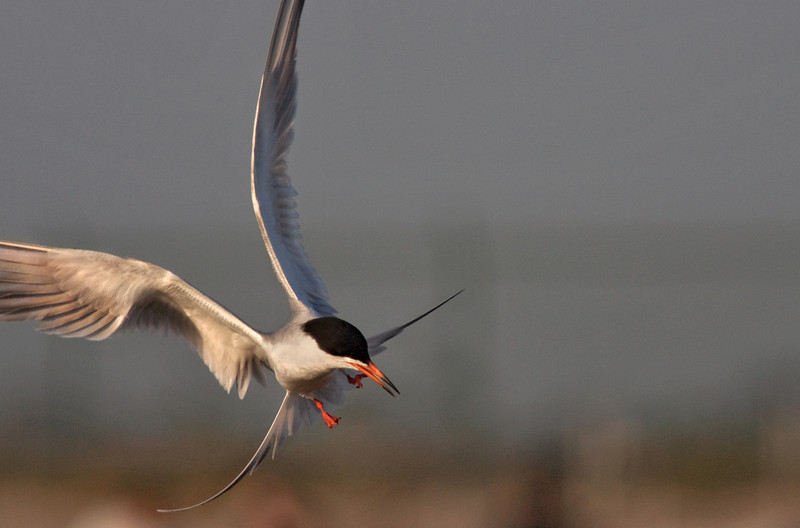 Just Dropping By -Elegant Tern