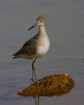 Willet On Rock