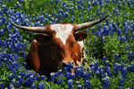 Texas Longhorn and Bed Of Bluebonnets -Ennis, Texas 4-10-12