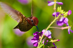 Lunch On The Fly -Anna's Hummingbird