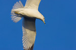 The Ring-Billed Gull