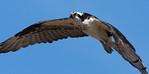 Osprey Bolsa Chica Wetlands