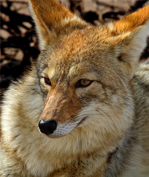 Coyote Peace