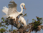 A Startling Arrival - Great White Egrets and Double Crested Cormorant -Smith Oaks Rookery, High Island, Texas
