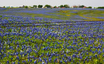 Bluebonnet Countryside -Ennis, Texas, April, 2012