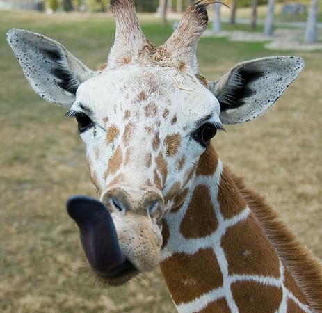 Giraffe at Busch Gardens 2007