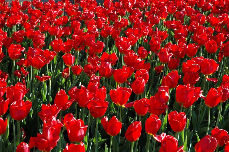 Tulip Festival Ottawa, Canada - 2004