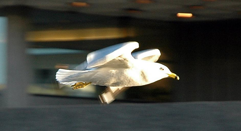 Flying bird in Ottawa, ON