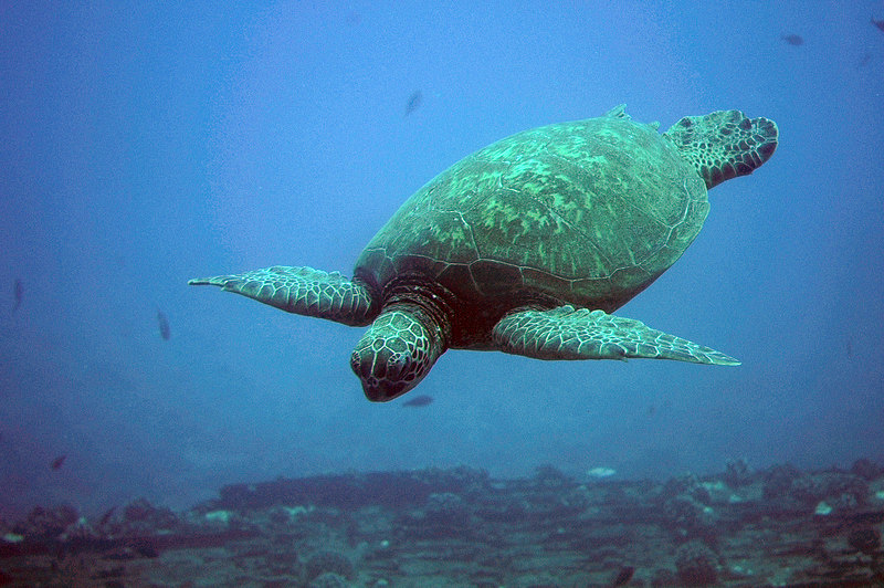 Sea Turtle from submarine - Hawaii