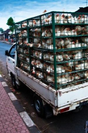Chicken Delivery  (Bali, Indonesia. 2008)