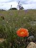 Orange prickly pear bloom 2