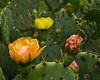 3-Color Prickly Pear