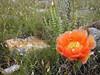 Orange prickly pear bloom