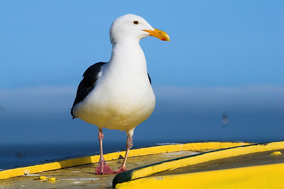 A seagull on something yellow.
