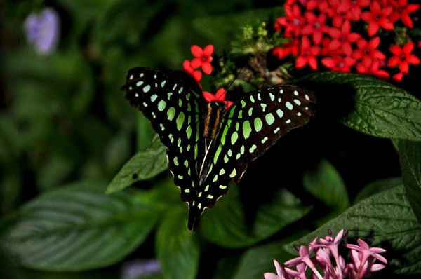 Graphium agamemnon (Tailed Jay, Green-spotted Triangle Butterfly)