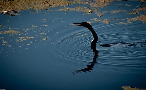 Anhinga AKA Florida Snake Bird