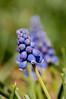 Grape Hyacinth hiding in the grass