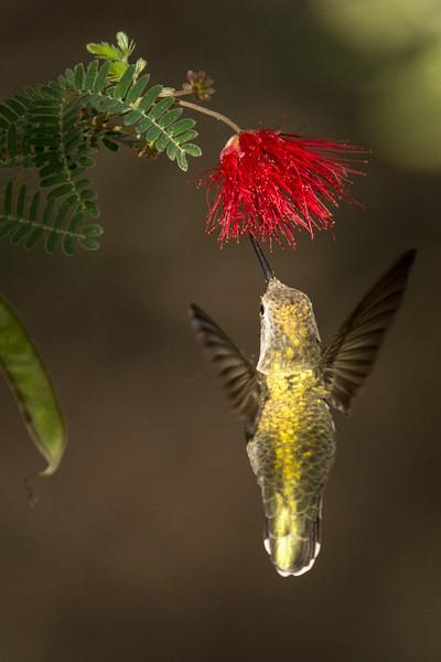 A hummingbird dining at the Phoenix Botanical Garden.