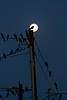 Birds gather on wires and decide to line up with the full moon.