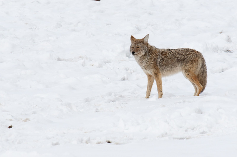 A coyote in a field along the Gibbon River