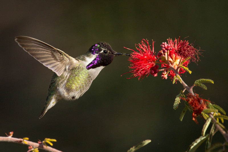 Maybe a few too many flowers for this little guy - he looks a little plump. This is a male Costa's Hummingbird.