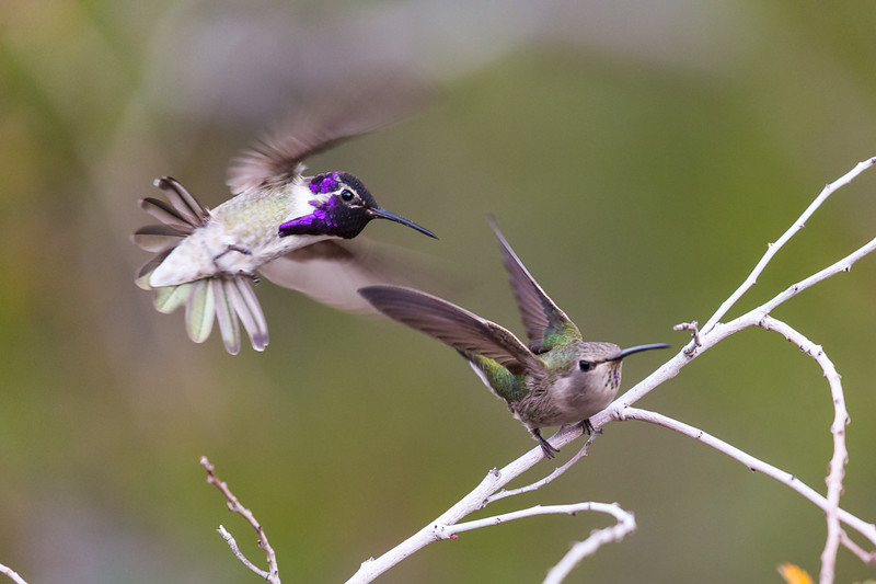 While photographing the hummingbird on the right sitting on the branch another hummingbird came in to defend its territory. I just happened to catch them both in the moment