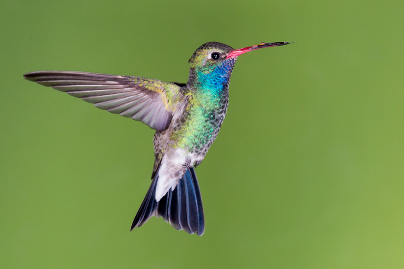 A mature male Broad-Billed hummingbird from a workshop by Arizona Highways in southern Arizona.  Note the 4 flashes of catch light.