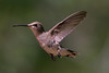 A little Black-Chinned Hummingbird hoovers near a feeder