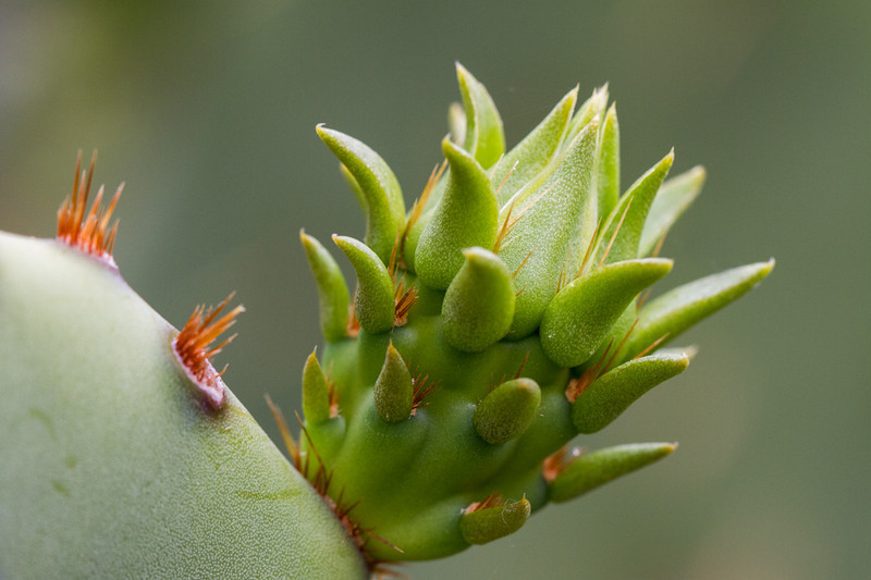A bud on a Prickly Pear cactus