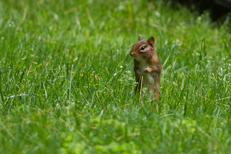 A little chipmunk has to stand to see over the tall grass.  Probably worried about the big guy with the camera.
