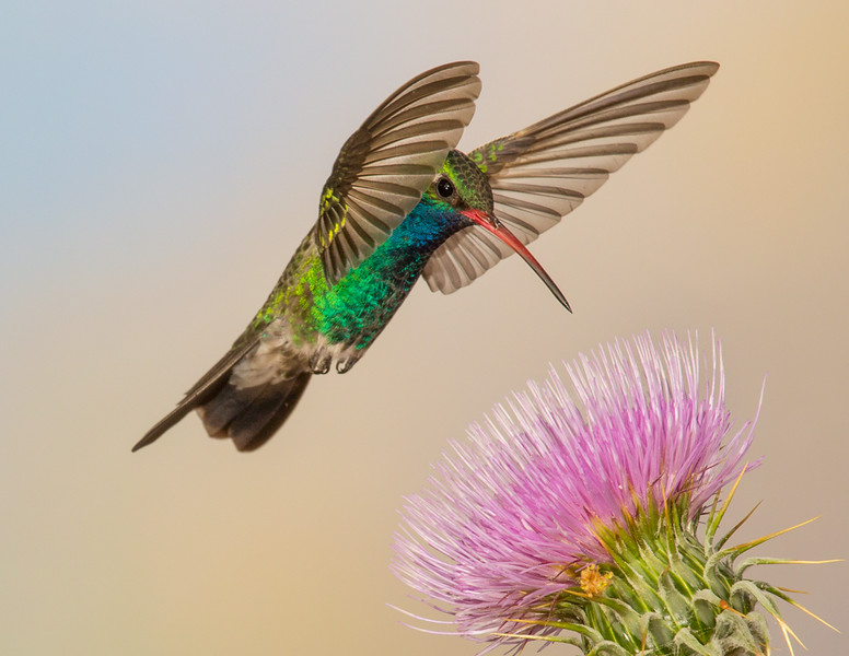 Fast little wings are hard to freeze. Either you catch the wings back in the angel pose or forward in a Dracula pose.  The hard part of the Dracula pose is getting a clear shot of the eyes.  This is a Broad Billed Hummingbird feeding on a thistle in the southern AZ mountains.